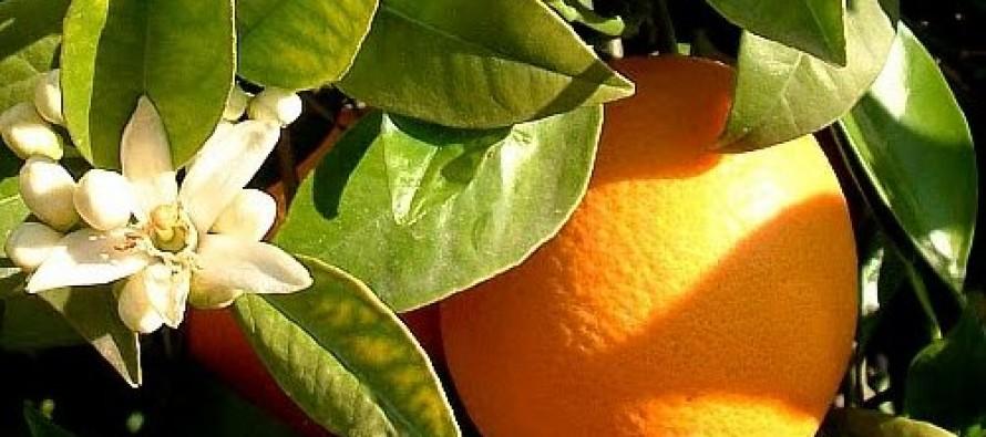 Soneto a los naranjos de la calle Sarmiento (de Heriberto L. Pérez)