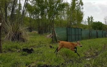 Un Ciervo de los Pantanos rescatado fue devuelto al Delta