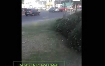 Periodismo ciudadano: ratas en Plaza Canal