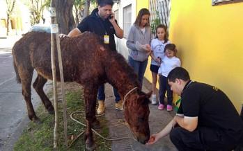 Rescatan en Constitución y Estrada a un caballo con mala salud que era utilizado como animal de carga en la vía pública