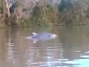 Un delfín en peligro de extinción apareció nadando en el río Paraná