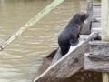 Rescataron un lobo marino en el Delta
